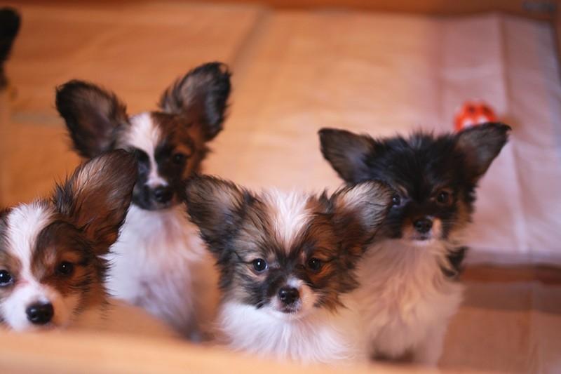 http://zennen-dog.com/Foto/PometP-B/IMG_0291.JPG
