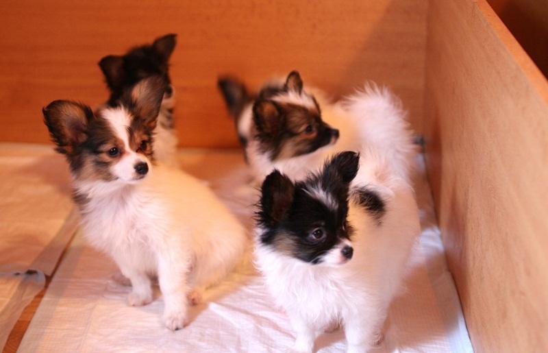 http://zennen-dog.com/Foto/PometP-B/IMG_0338.JPG