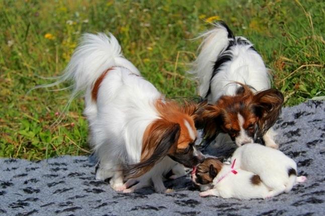 http://zennen-dog.com/Foto/PometP-V/puppies12-1s.jpg