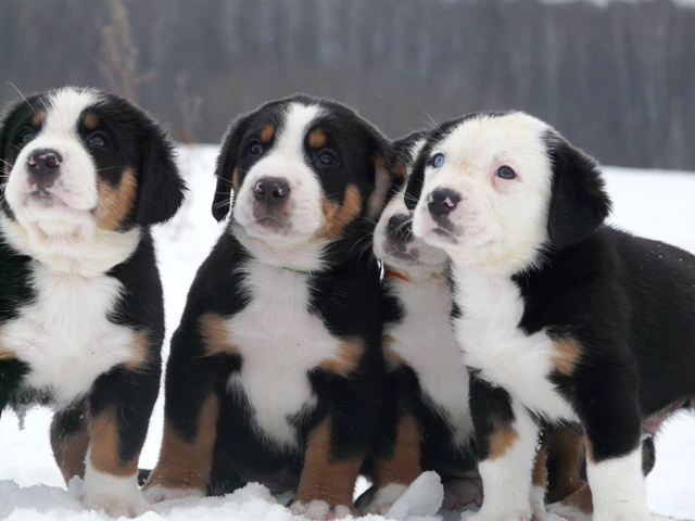 http://zennen-dog.com/images/puppies/g_22112012/mf.jpg